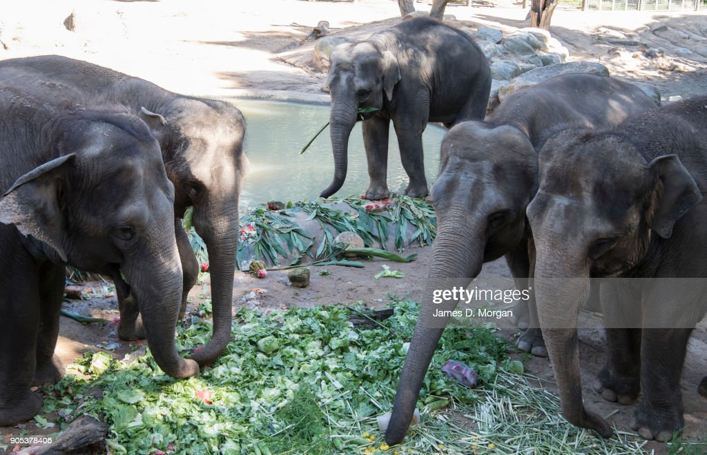 First Elephant Born At Melbourne Zoo Celebrates 8th Birthday