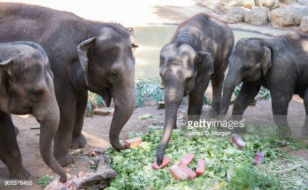 Celebrating her eighth birthday Mali with her herd at Melbourne Zoo on January 16 2018 in Melbourne Australia Mali was born on January 16 the first...