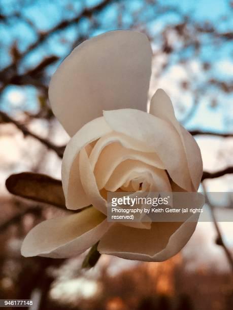celebrating springtime: the beauty of a magnolia flower bud - parte della pianta foto e immagini stock