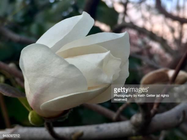 celebrating springtime: the beauty of magnolia tree flowers beginning to bloom - magnolio fotografías e imágenes de stock