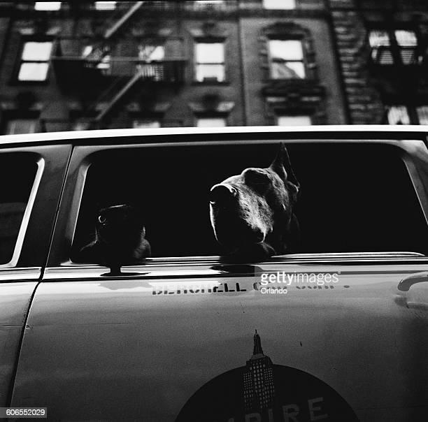 Celebrity animals Minkie and Dickie ride around New York City in a Berchell Cab Corporation taxi USA circa 1953 Their owner Mrs Lorrain d'Essen runs...