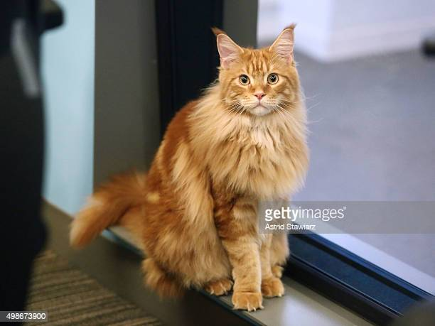 Celebrity chef Bobby Flay and his cat Nacho Flay visit The Elvis Duran Z100 Morning Show at Z100 Studio on November 23 2015 in New York City