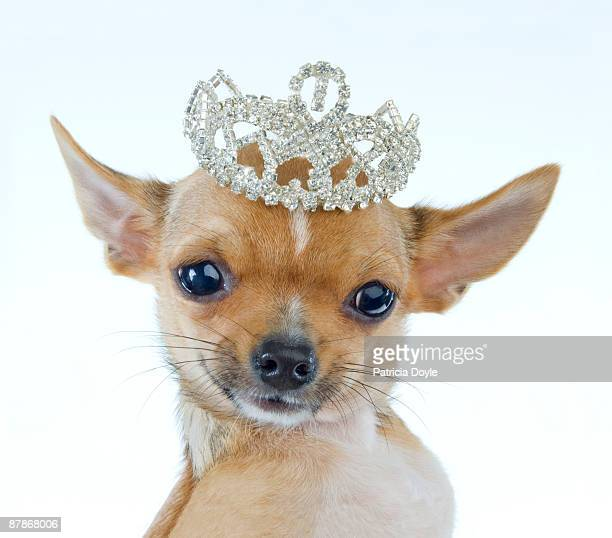 Celebrity Chihuahua Portrait