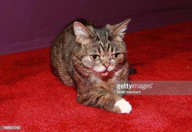 Celebrity internet cat Lil Bub attends the Lil Bub Friendz world premiere during the 2013 Tribeca Film Festival on April 18 2013 in New York City