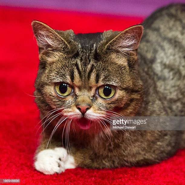 Celebrity internet cat Lil Bub attends the screening of Lil Bub Friendz during the 2013 Tribeca Film Festival at SVA Theater 1 on April 18 2013 in...