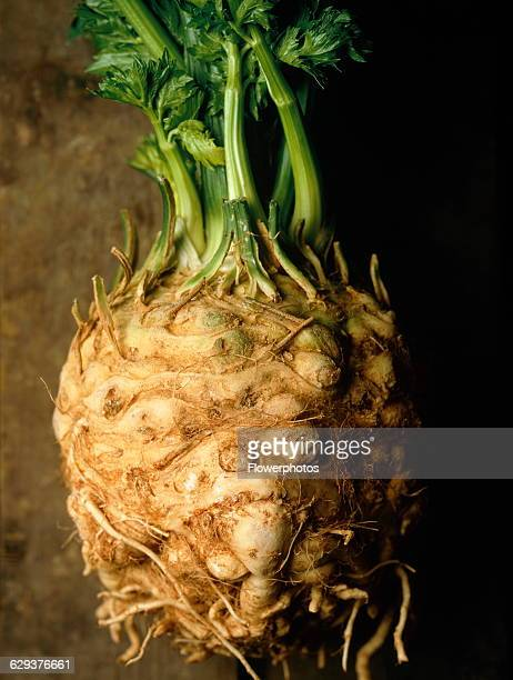Celeriac Apium graveolens rapaceum