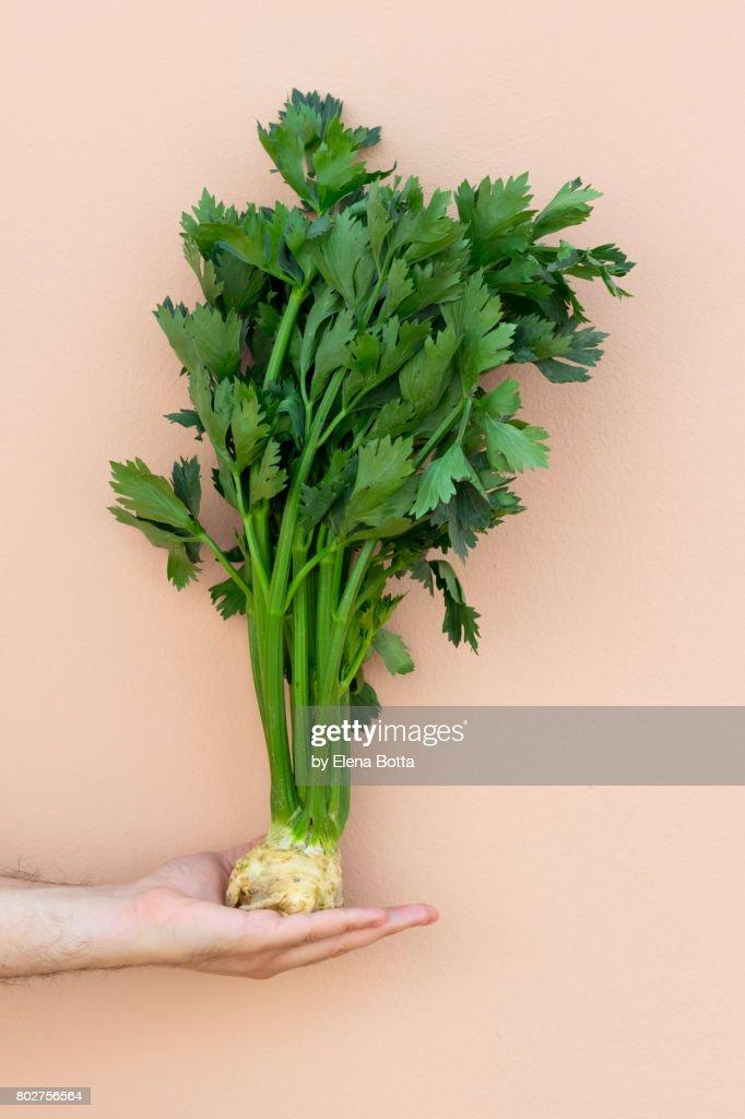 Celeriac on hand : Stock Photo