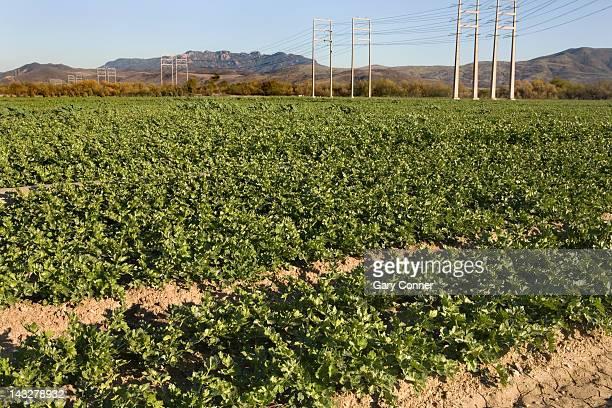 Celery field