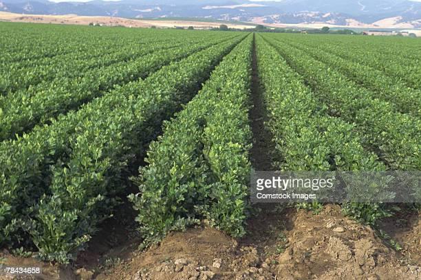 celery field - apio fotografías e imágenes de stock