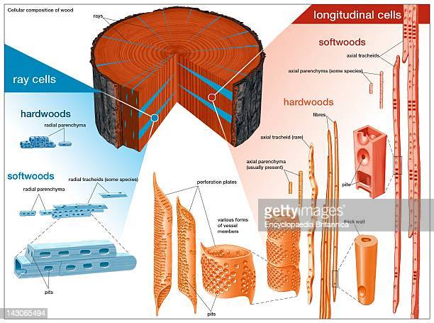 Cellular Composition Of Wood Types Of Cells Present In Hardwoods And Softwoods