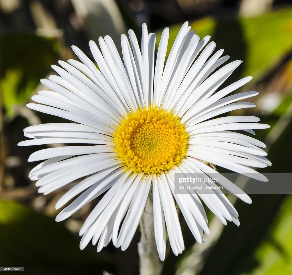 Celmisia Hookeri White Daisylike Flower Stock Photo Getty Images