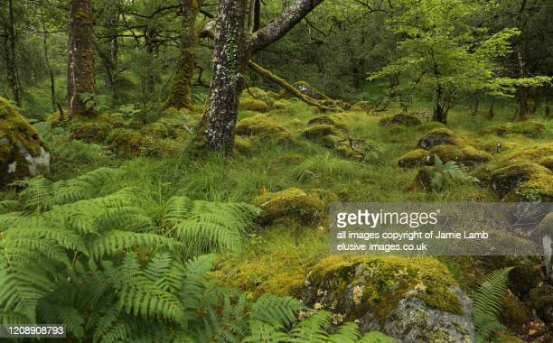 celtic rainforest in summer, argyll, scotland - foresta temperata foto e immagini stock