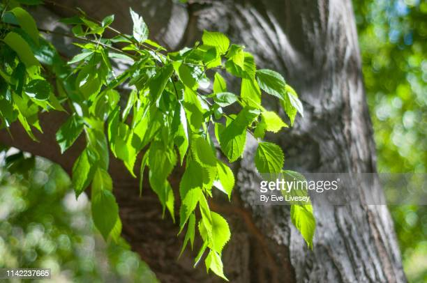 celtis caucasia elm tree leaves - elm tree stock pictures, royalty-free photos & images