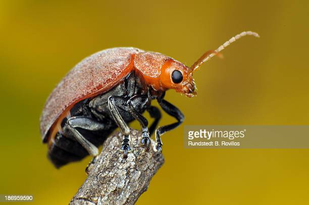 celtis leaf beetle, menippus cynicus - elm tree stock pictures, royalty-free photos & images