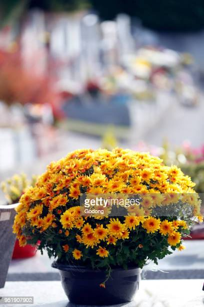 Cemetery on All Saints' Day Chrysanthemum on grave Saint Gervais France