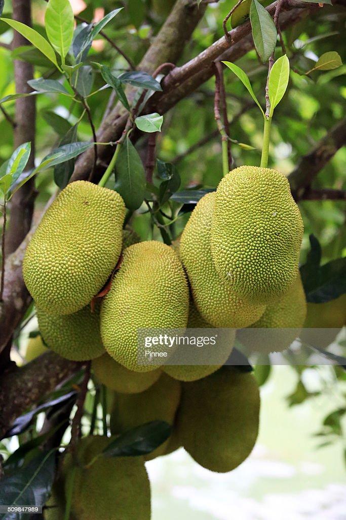Cempedak   Jackfruit Tree In Home Garden, Vietnam : ストックフォト