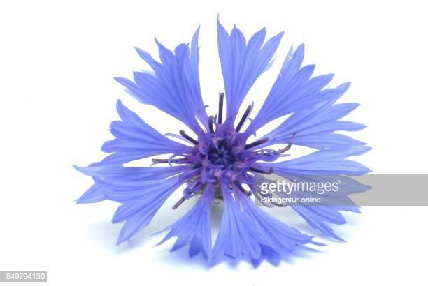 Centaurea Cyanus Commonly Known As Cornflower Medicinal Plant