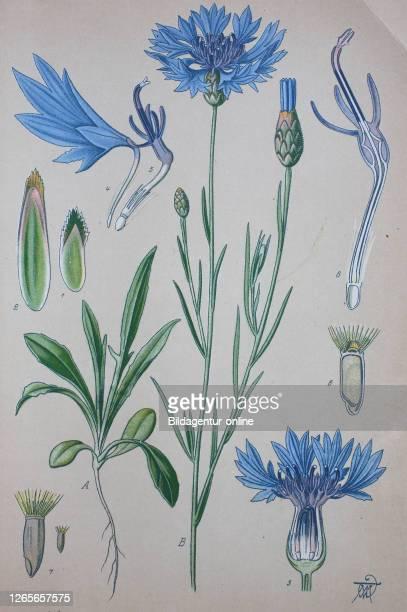 Centaurea cyanus, cornflower, bachelor's button, plant in the family Asteraceae / Kornblume, Cyanus segetum,Centaurea cyanus, Pflanzenart aus der...