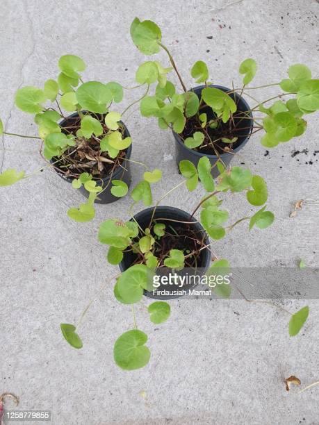 centella asiatica or known as asian pennywort or gotukola growing in a pot - magnoliophyta foto e immagini stock