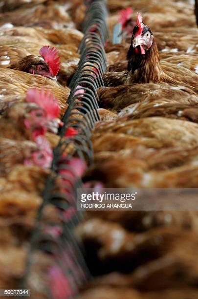 Centenares de gallinas son alimentadas en una finca avicola el 28 de octubre de 2005 en las afueras de Bogota Colombia Los avicultores colombianos...
