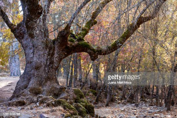 centennial ash, in a forest - 100th anniversary stock pictures, royalty-free photos & images