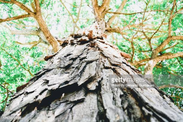 centennial tree - 100th anniversary stock pictures, royalty-free photos & images