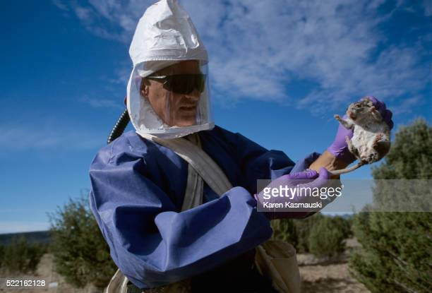 center for disease control researcher holding deer mouse - hantavirus stock pictures, royalty-free photos & images