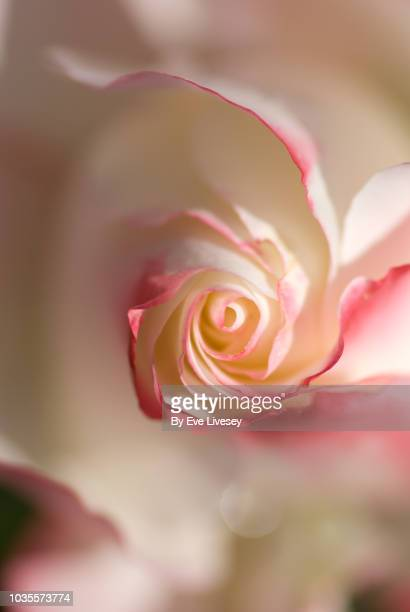 center of a white and pink rose - spiral stock pictures, royalty-free photos & images