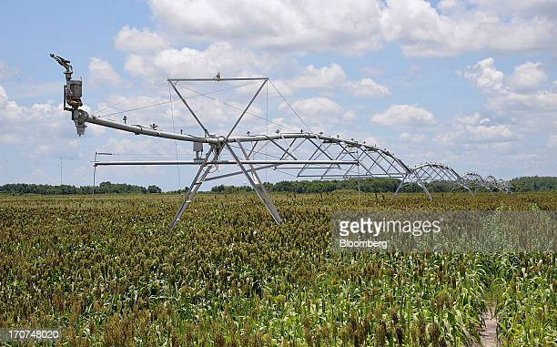 A centerpivot sprinkler system stands in a field of sorghum which is used to feed cattle at JM Larson Dairy 3 in Okeechobee Florida US on Friday June...