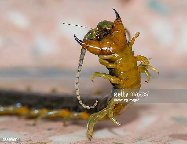 centipede celebrating kill - centipede stock pictures, royalty-free photos & images
