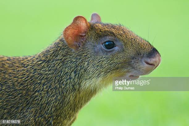 Central American agouti (Dasyprocta punctuate) close-up