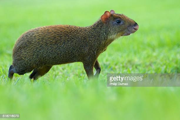 Central American agouti (Dasyprocta punctuate) creeping