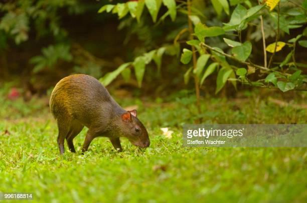 Central American Agouti or Punctate Agouti (Dasyprocta punctata), grazing, Puntarenas Province, Costa Rica