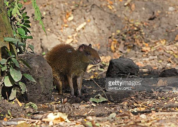 Central American Agouti seeks shelter from the sun under a tree on February 21 2010 in the Palo Verde National Park on the Guanacaste province 240...