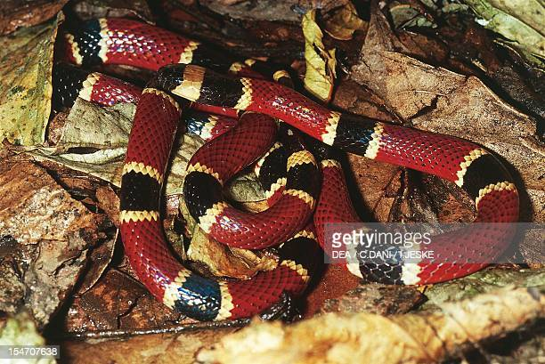 Central American coral snake Elapidae