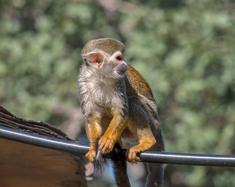 Central American squirrel monkey. Exotic monkeys in the Monkey Forest in Yodfat, Israel. Natural conditions for freely moving animals 1218636293