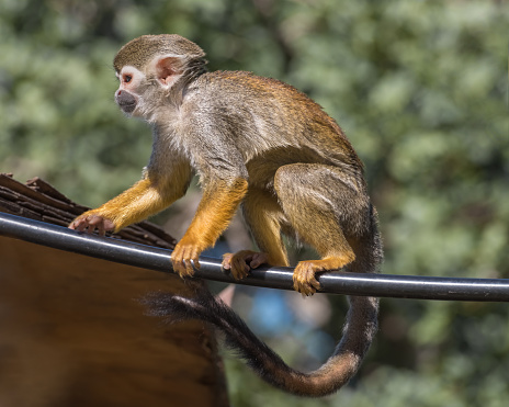 Central American squirrel monkey, red-backed squirrel monkey. Exotic monkeys in the Monkey Forest in Yodfat, Israel. Natural conditions for freely moving animals 1218986113