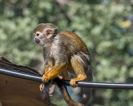 Central American squirrel monkey, red-backed squirrel monkey. Exotic monkeys in the Monkey Forest in Israel. Natural conditions for freely moving animals 1218987044