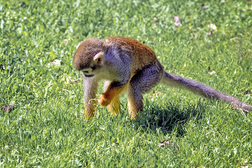 Central American squirrel monkey, Saimiri oerstedii, red-backed squirrel monkey. Exotic monkeys in the Monkey Forest in Yodfat, Israel. Natural conditions for freely moving animals 1218636353