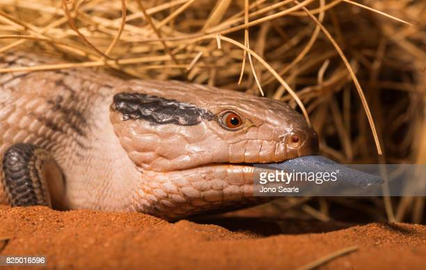 A Central Australian Blue Tongue Skink or Lizard showing its distinctive blue tongue The Central Blue Tongue Skink is found in central Australia near...