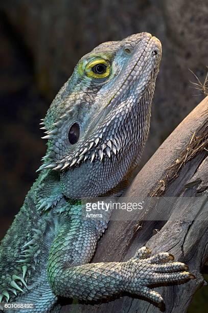 Central bearded dragon / Inland bearded dragon in tree native to Australia