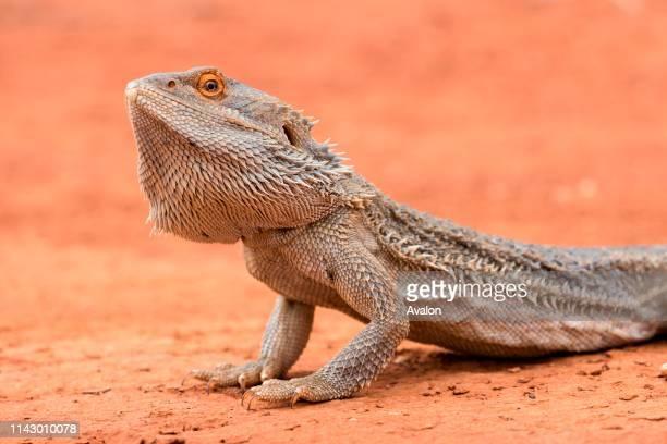 Central Bearded Dragon Pogona vittticeps.