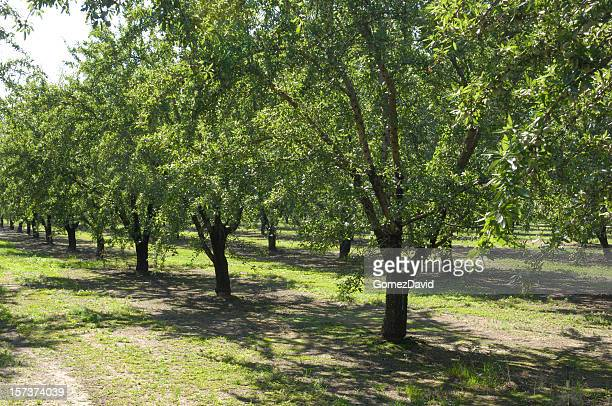 Central California Almond Orchard With Ripening Nuts on Trees