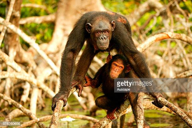 Central chimpanzee Pan troglodytes troglodytes adult and young in mangrove trees in the Noumbi River above river ConkouatiDouli National Park...