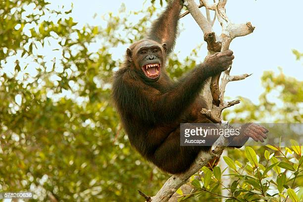Central chimpanzee Pan troglodytes troglodytes aggressive ConkouatiDouli National Park Republic of the Congo Central Africa