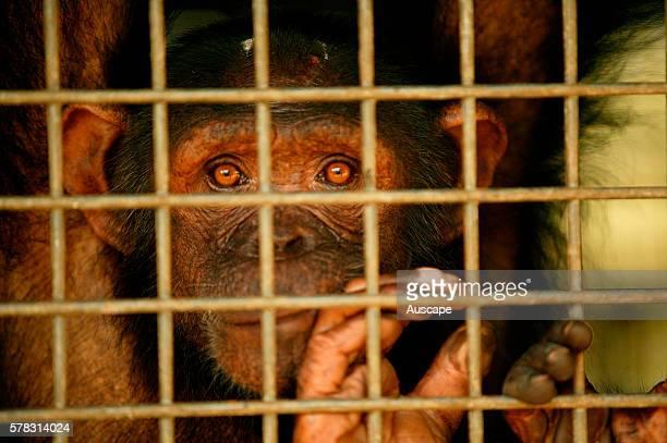 Central chimpanzee Pan troglodytes troglodytes in cage Republic of Congo Central1 Africa