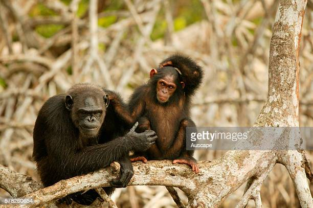 Central chimpanzees Pan troglodytes troglodytes adult and juvenile at waterês edge ConkouatiDouli National Park Republic of the Congo Central Africa