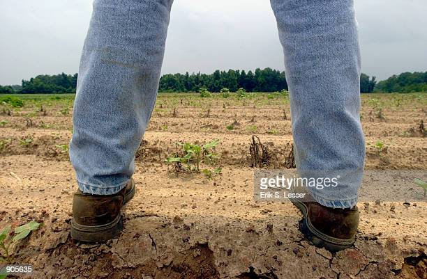 Central Georgia farmer Wayne Smith looks over one of his drought devastated cotton fields July 14 in Pinehurst Ga The entire state was declared a...