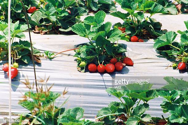 Central Israel Agriculture, Strawberries