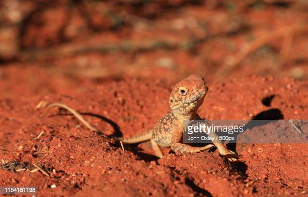 central netted dragon - uluru stock pictures, royalty-free photos & images